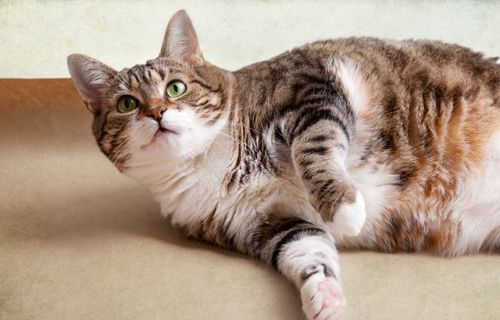 The One Thing to Do for Diet for Cats with Pancreatitis