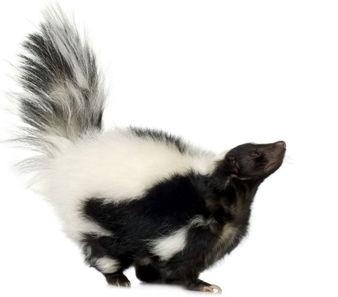 How often feed a skunk? What a skunk should eat?